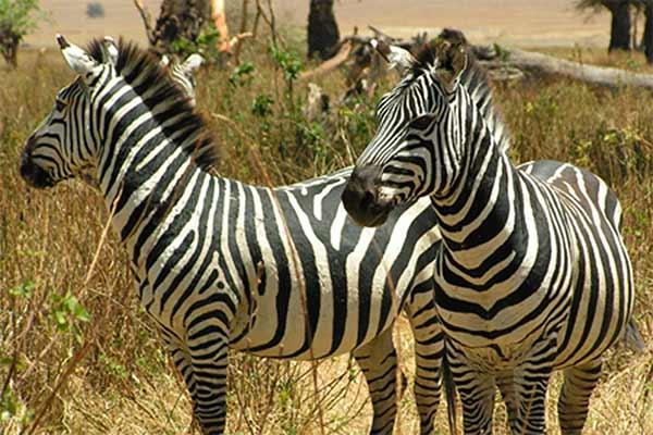Zebra safari zanzibar